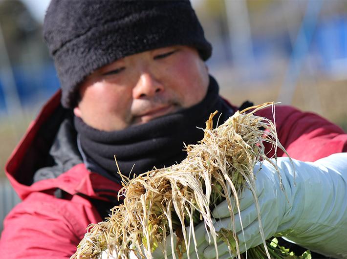 繊細で旨みたっぷりな三浦農園のせりの根っこ