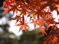 【秋の味覚といば!マツタケ】炭焼き松茸に『揚げ』『土瓶蒸し』『釜飯』と4種の料理で堪能。まつたけ膳