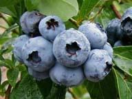 【ファミリー】夏期限定!大満足☆大自然でブルーベリー摘み取り体験付き 1泊2食プラン