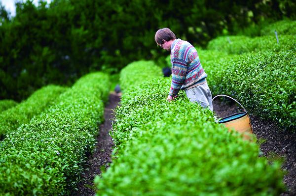 在紐西蘭的綿延緩丘 上,除台灣人外,也 雇用當地人採茶。