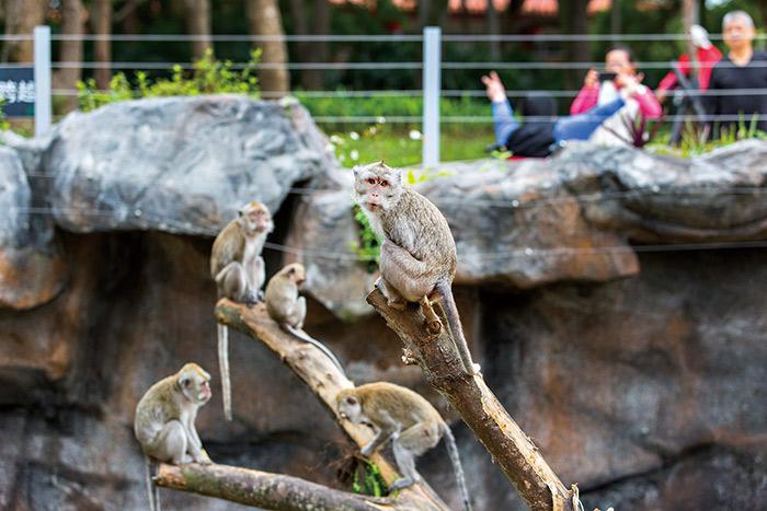 猴島上的猴子