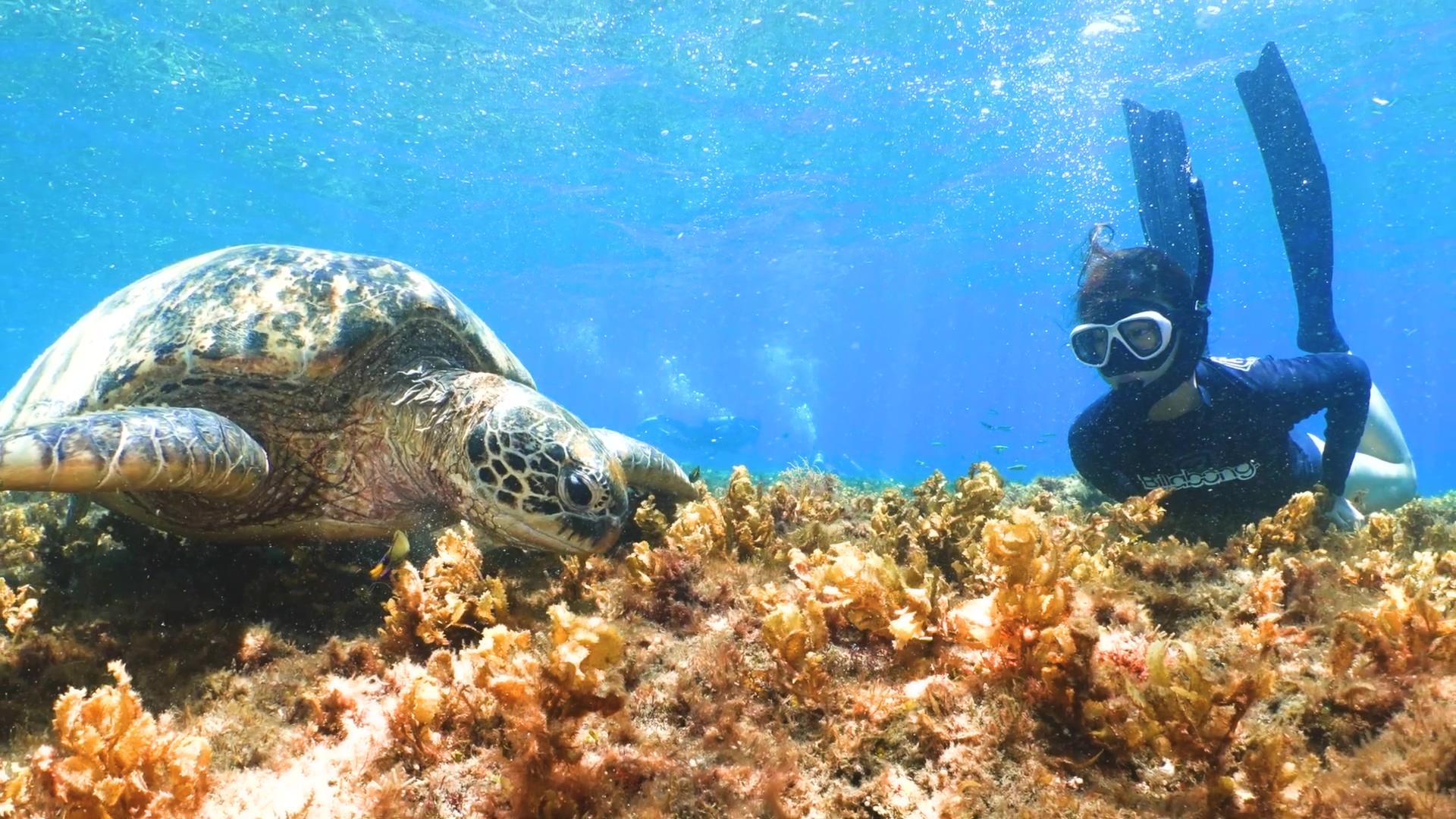 「海龜姊姊」馮加伶與海龜共游於海中(蘇淮提供)。