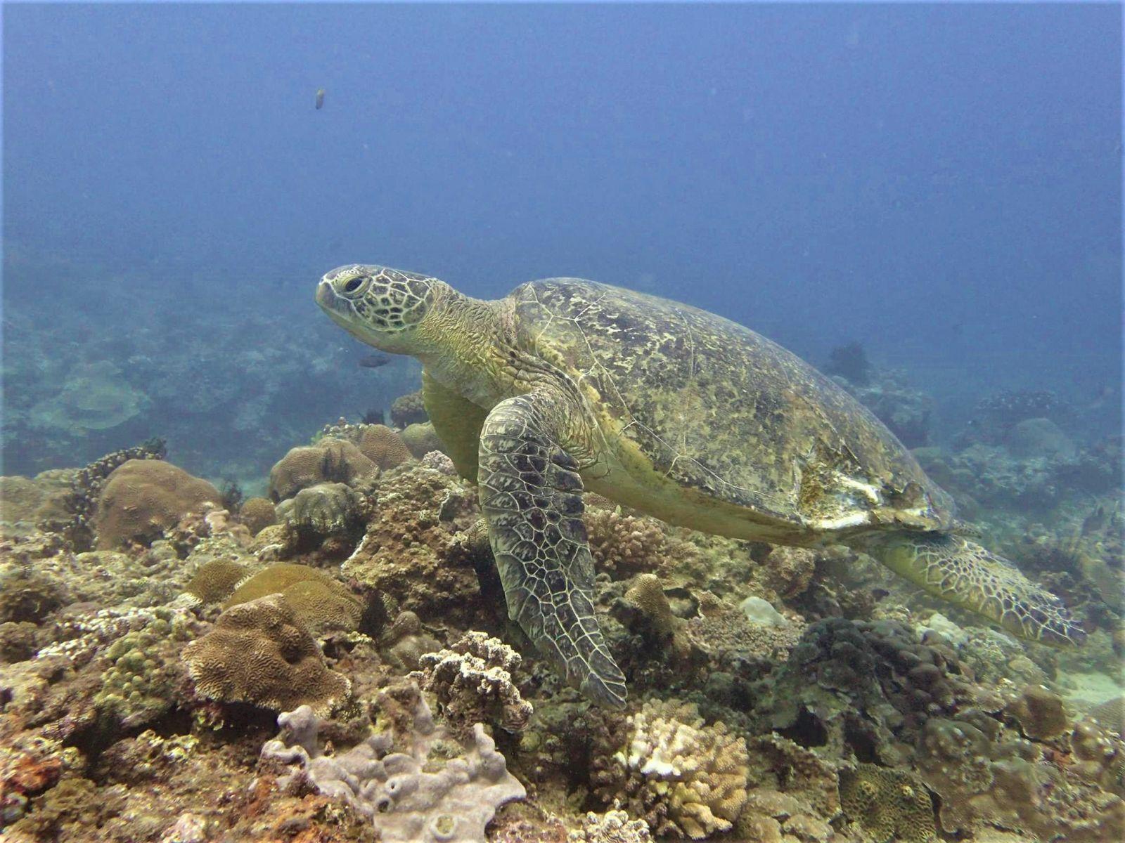 海龜「小破洞」於2017年6月被拍攝到背甲左後方的傷口已復原不少(蘇淮提供)。