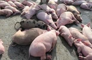 【フィリピン】豚コレラ域内侵入か、越から輸入禁止[農水](2019/02/19)