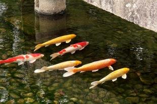 世界の大富豪は日本のニシキゴイが大好き! その実態は鑑賞か、投資か?