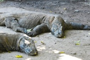 【インドネシア】コモド島、21年から1年間閉鎖=州知事[観光](2019/06/14)