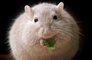 肥満・糖尿病の寿命をさらに短くする物質とは
