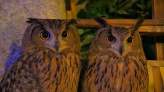 位於淺草的奇幻叢林! 有著療癒系貓頭鷹的森林咖啡廳「貓頭鷹森林」