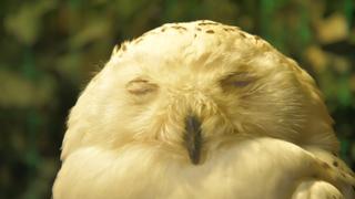 令人愛不釋手!淺草「貓頭鷹森林」店員力推的4隻神鴞