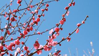 都心で圧巻の梅に触れる!今が見頃の「湯島天神梅まつり」