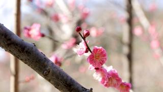 都心で春の訪れを感じる梅まつり! 小石川後楽園にて「梅香る庭園へ」開催