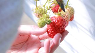 4月でもいちご狩りが楽しめる! 「原田いちごファーム」で美味しいいちごを堪能しよう