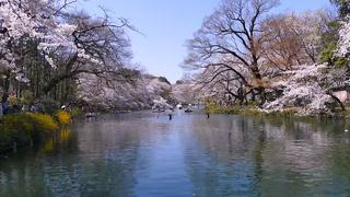桜満開の春が来た。吉祥寺で過ごす1日お花見プラン