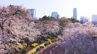 都会のまん中で桜が踊る「MIDTOWN BLOSSOM 2018」