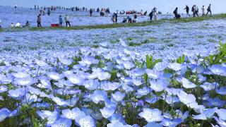 青のコントラストが眩しい。国営ひたち海浜公園が織りなすネモフィラ畑