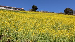 菜の花が告げる春の知らせ。マザー牧場で今しか見られない黄色いお花畑