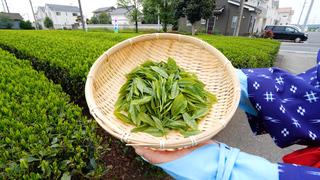 埼玉できるお茶摘み体験。「宮野園」で狭山茶の魅力に包まれる