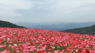 秩父「天空のポピー」は1,500万本のポピーが咲き渡る初夏の絶景