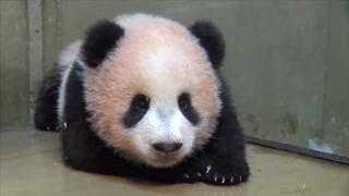 早く会いたい! 「上野動物園」のキュートな赤ちゃんパンダ「シャンシャン」