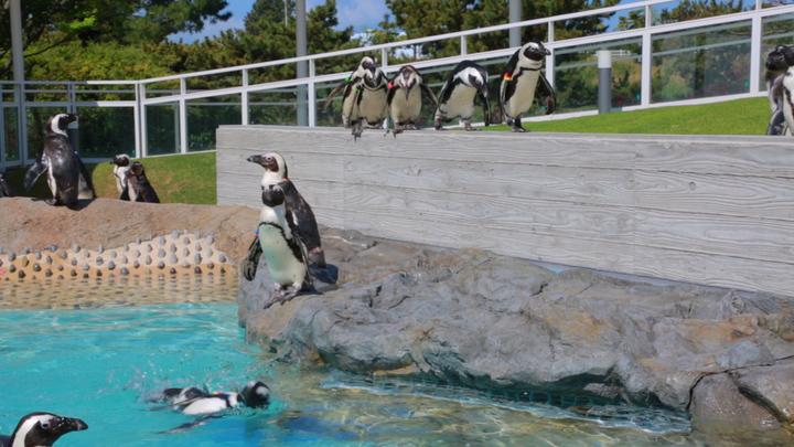 丘のペンギンの群れ