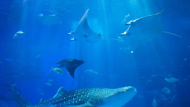 水槽で泳ぐジンベエザメとマンタ