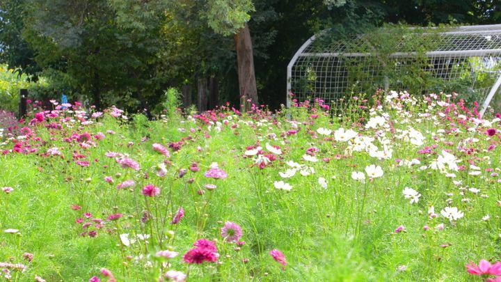 「ハーブ庭園旅日記」に咲く秋の花コスモス