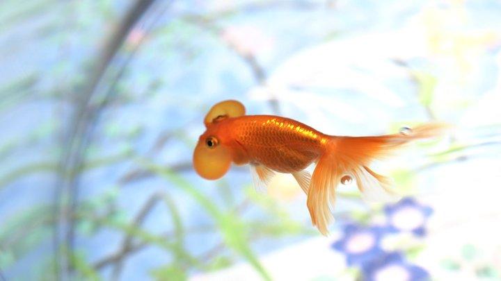 「水中楽園AQUARIUM」の金魚