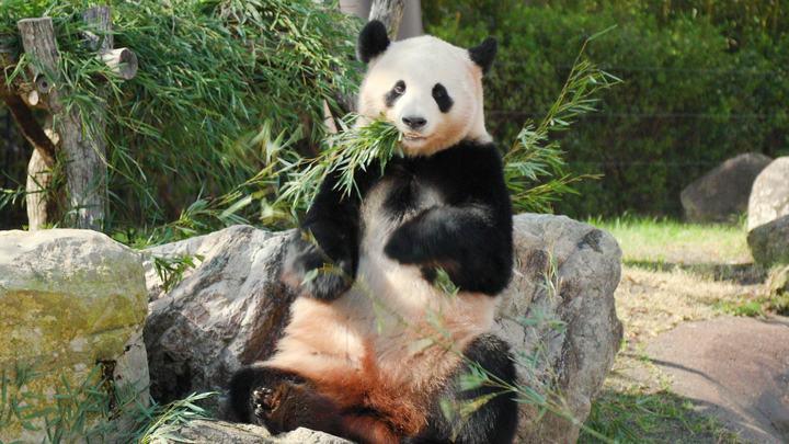 「アドベンチャーワールド」のジャイアントパンダ