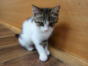 保護 猫 子猫