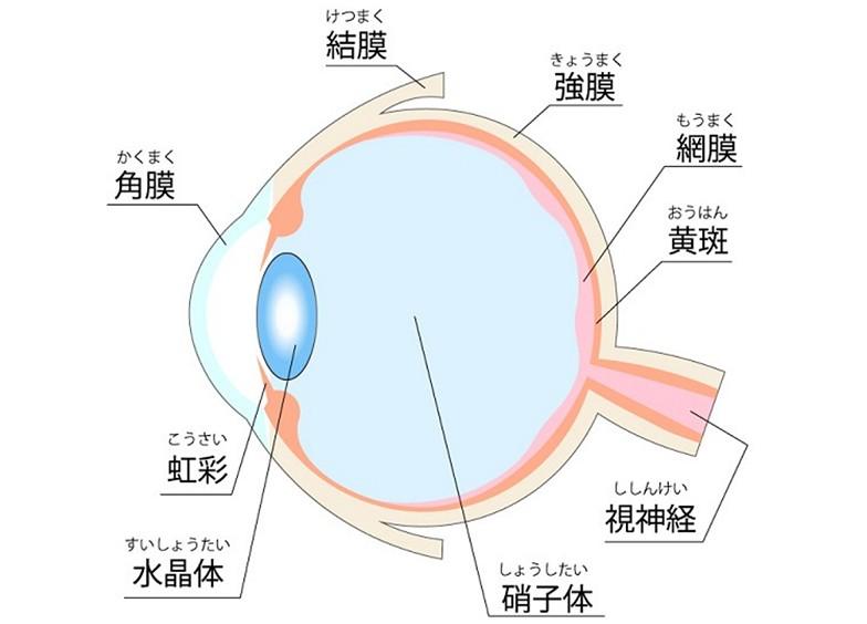 水晶体(目の構造)