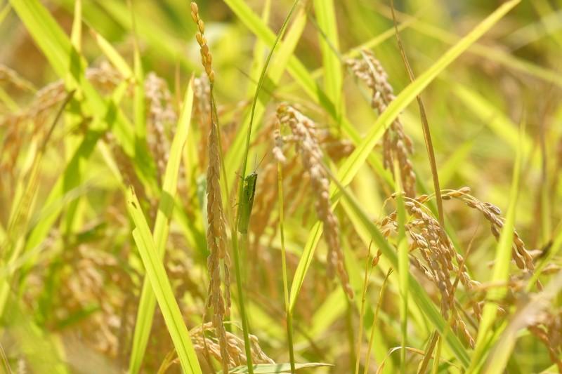 収穫前の黄金色に輝く稲穂。日本の豊かさがここに。