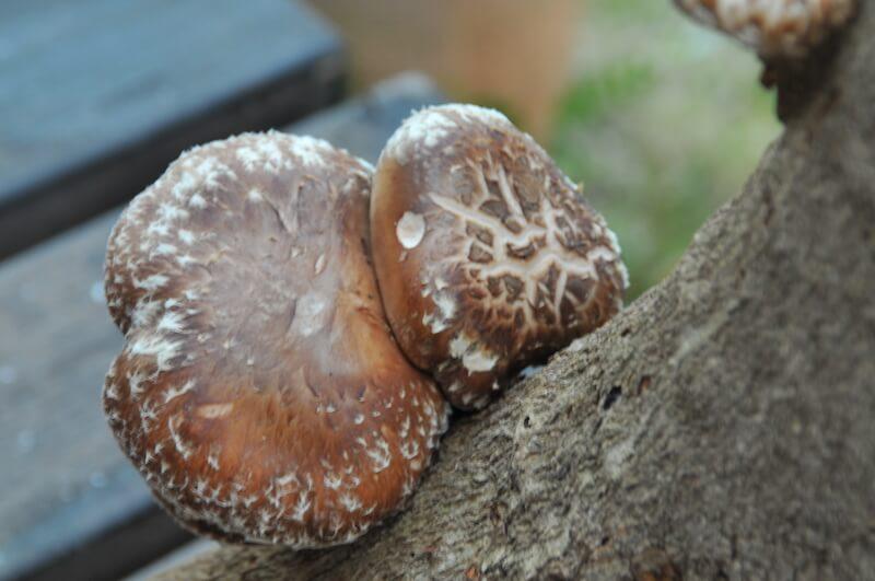 原木に打ち込んだ菌から育った自然栽培の椎茸