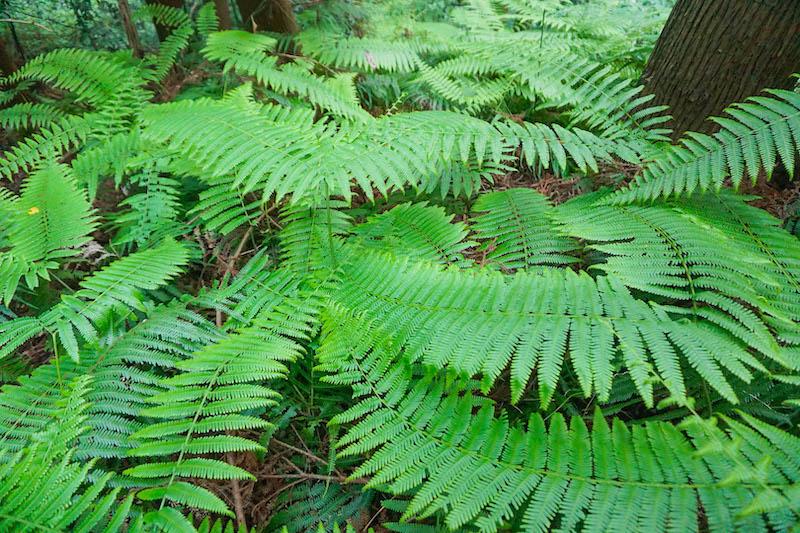 林のあちこちで発見したウラジロの群生