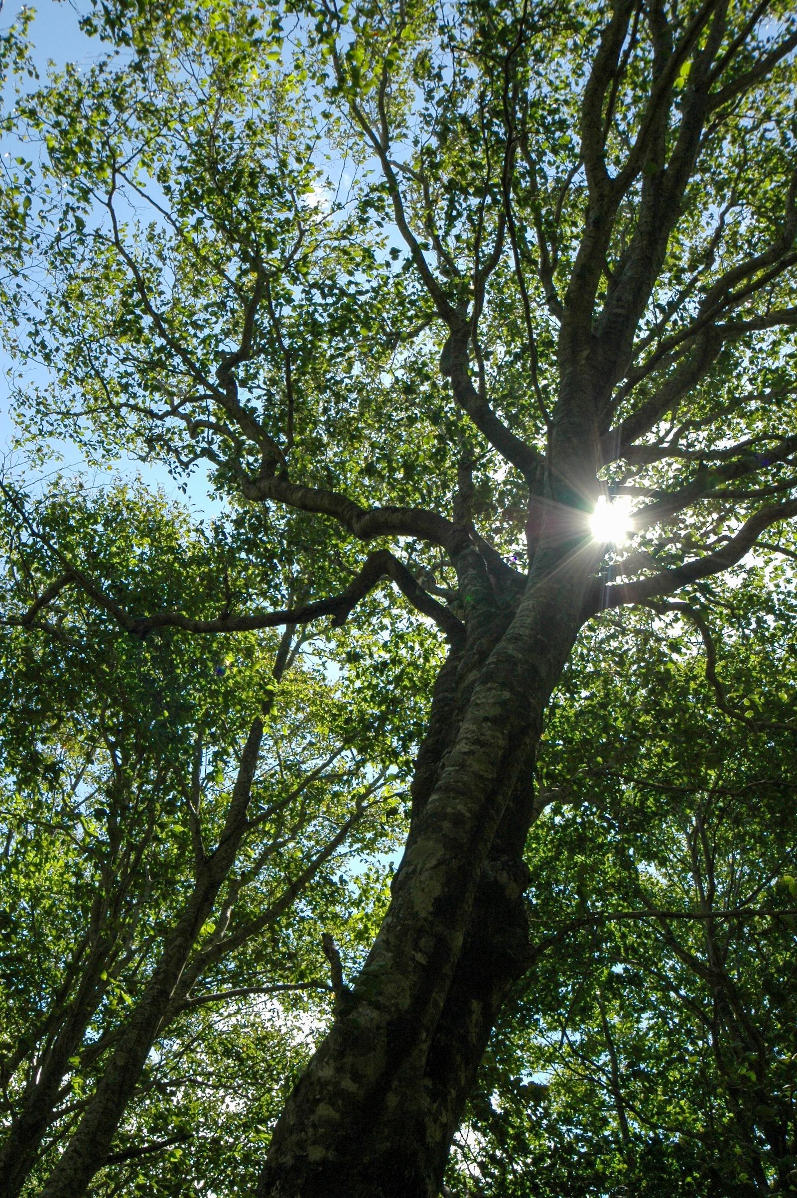 ブナの木漏れ日