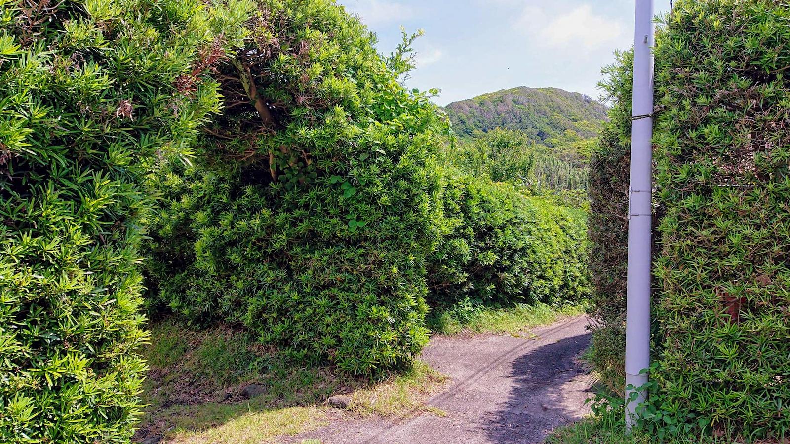 敷地の入口を彩る槇の木のアーチ