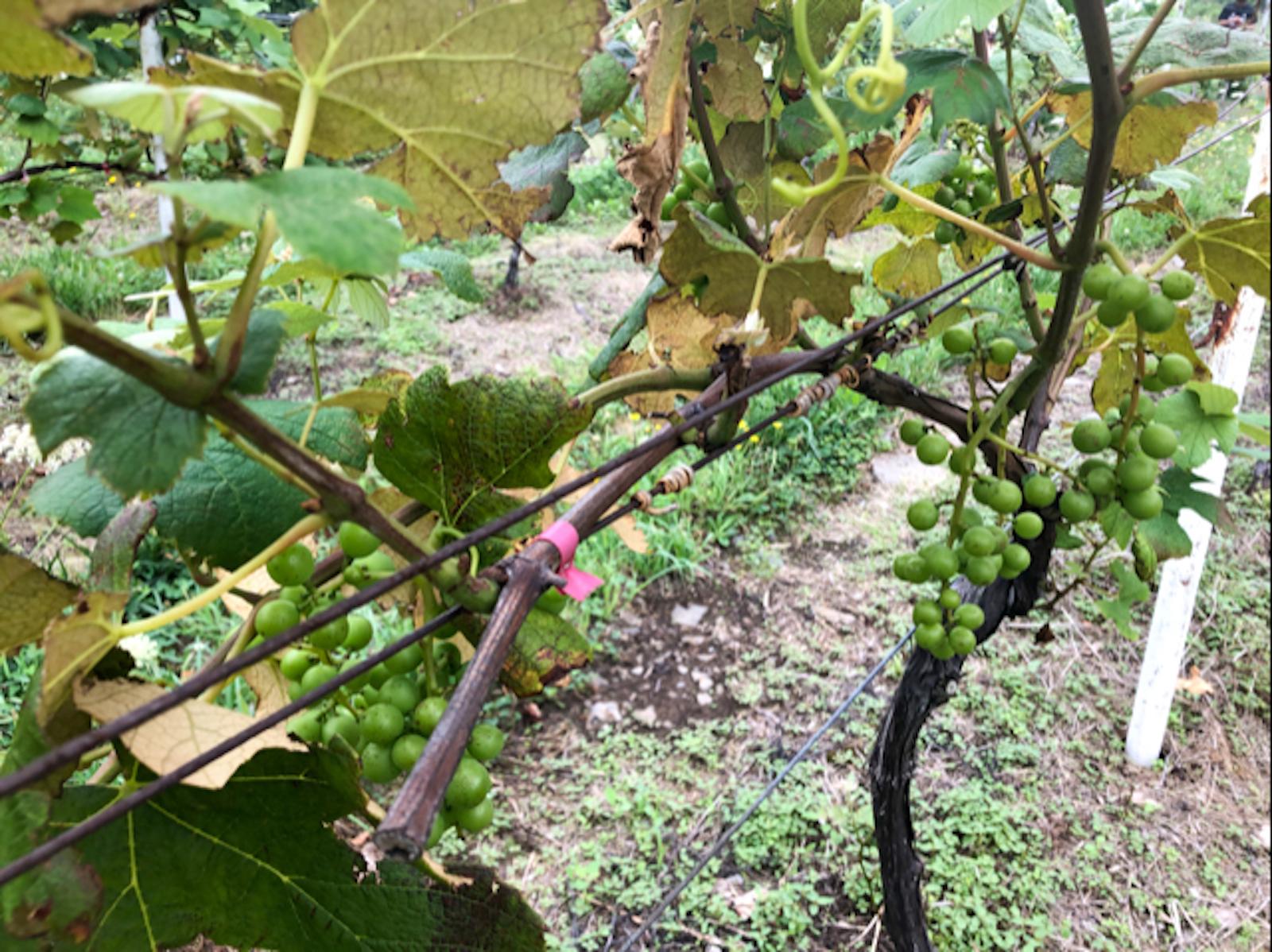ワインに使用する栽培中の葡萄