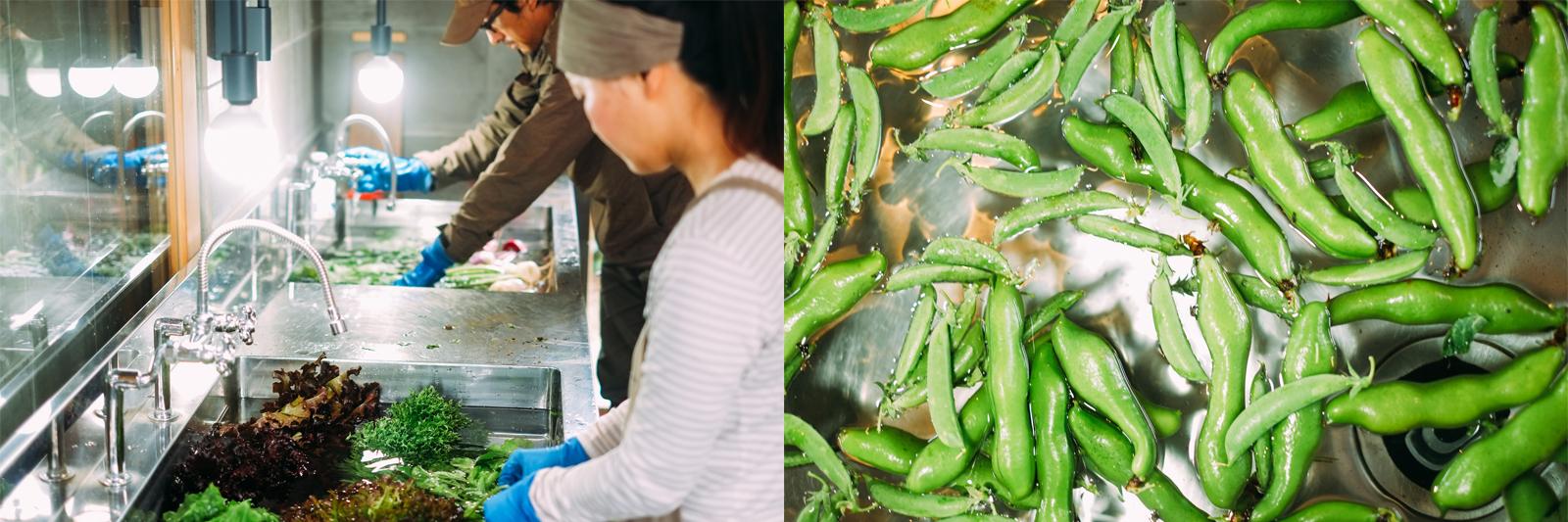 採れた野菜はていねいに水に浸し、洗う