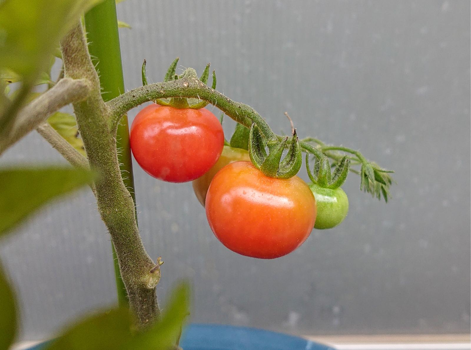 トマトは茎から近い方から順に赤く熟していきます