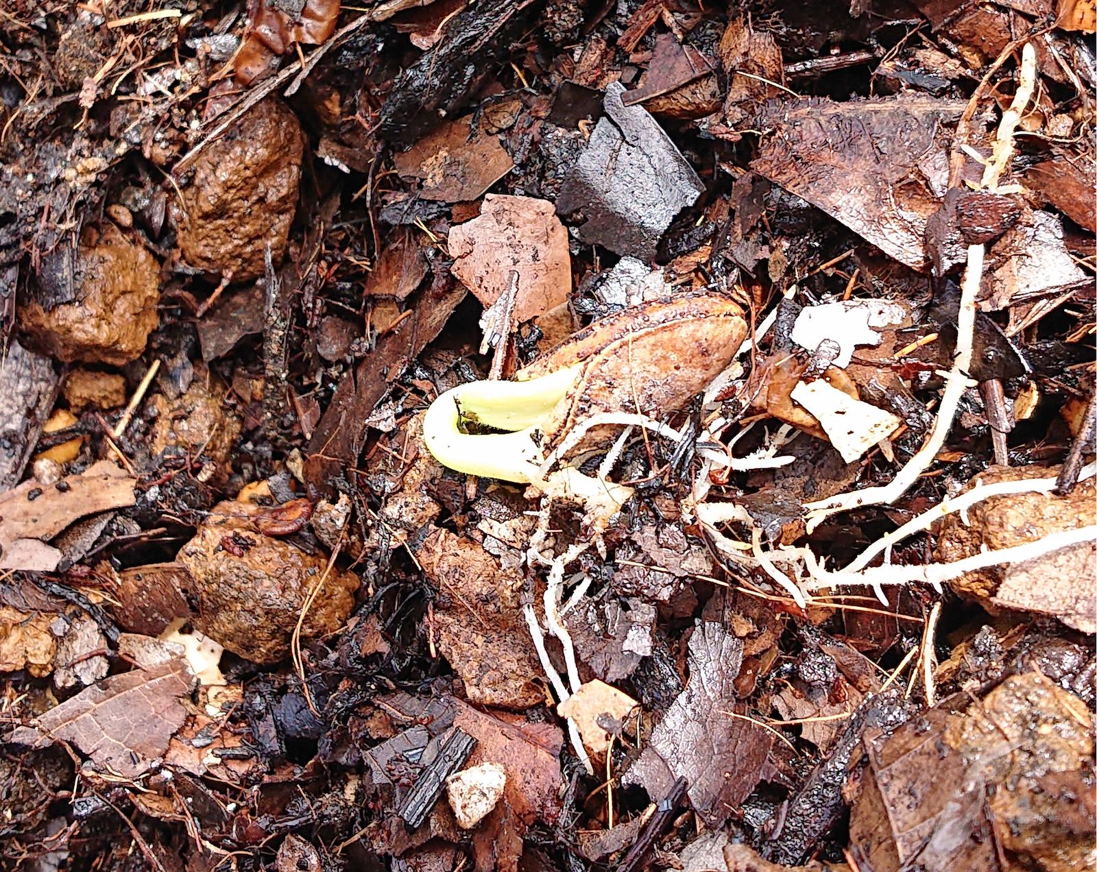 柔らかい腐葉土で管理し、発芽したカボチャの種