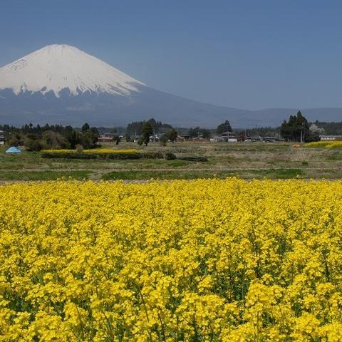 御殿場市菜の花 (富士山ビューポイント)のサムネイル