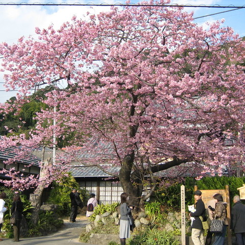 河津桜原木のサムネイル