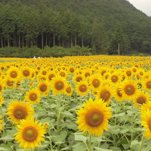 Katsurayama sunflower field