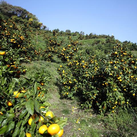 สวนเกษตรโคะซะคะส้มการร่วมมือกัน