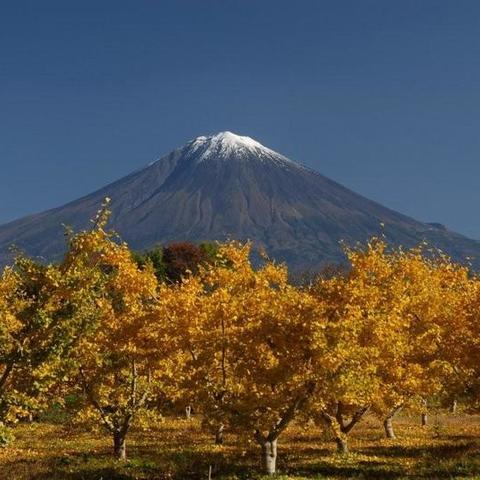 銀杏と富士 (富士山ビューポイント)のサムネイル