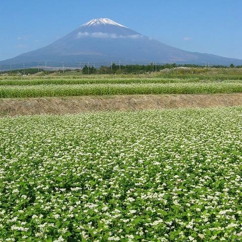 そばの花 (富士山ビューポイント)のサムネイル