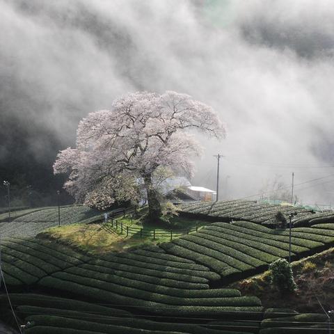 美しい茶畑「牛代みずめ桜と茶畑」/Japan Tea Fildsのサムネイル