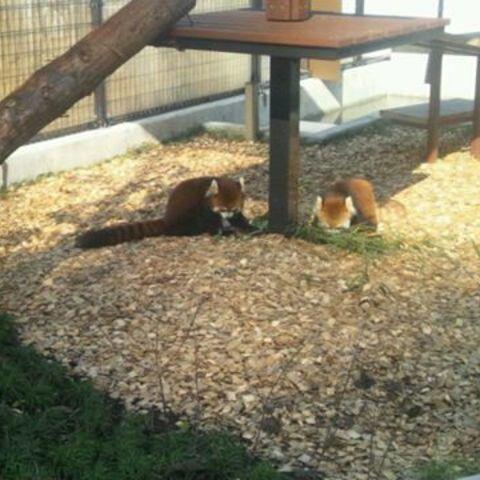 日本平動物園 レッサーパンダ館のサムネイル