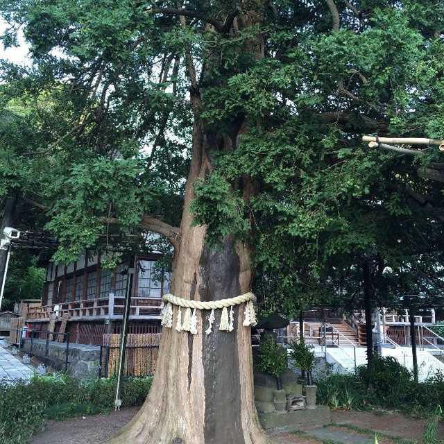 上行寺のカヤの樹齢は?