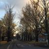 宇都宮大学のイチョウ並木