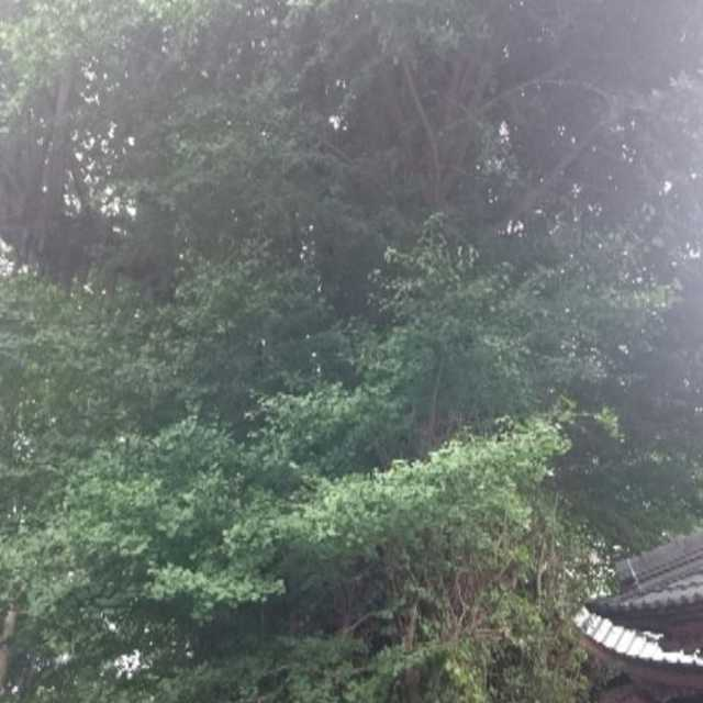 荻野神社のイチョウ